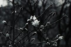 Czarny i biały kwiatów pączki fotografia royalty free