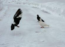 Czarny i biały, lataniu i odprowadzeniu, fotografia stock