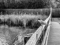 Czarny i biały monochromatyczny wizerunek błonia tern mostków hirundo umieszczał na ogrodzeniu nad jezioro wodą z złapaną rybą w  fotografia stock