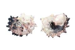 Czarny i biały morze skorupy odizolowywać na bielu Zdjęcia Royalty Free