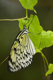 Czarny i biały motyl obrazy royalty free