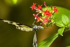 Czarny i biały motyl fotografia stock