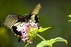 Czarny i biały motyl obrazy stock
