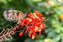 Czarny i biały motyl na liściach Zdjęcia Stock