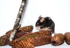 Czarny i biały mysz, rożki Obraz Stock