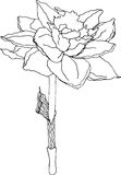 Czarny i biały nakreślenie daffodil Fotografia Stock