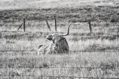 Czarny i biały obrazek Teksas longhorn z łamanym rogiem Zdjęcie Stock