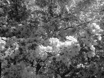 Czarny i biały okwitnięcia Obrazy Stock