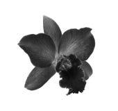 Czarny i biały orchidea na białym tle Zdjęcie Stock