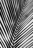Czarny i biały piękny palma liścia tło Fotografia Stock