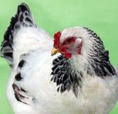 Czarny I Biały podwórka kurczak zdjęcia royalty free