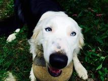 Czarny i biały psa bawić się Obrazy Royalty Free