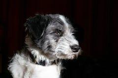 Czarny i biały psiego portreta boczna twarz obraz royalty free