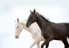 Czarny i biały pureblood konie Fotografia Stock
