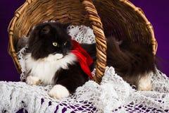 Czarny i biały puszysty kot kłama w koszu obraz stock