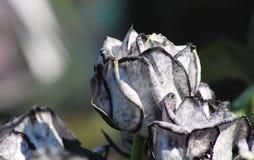 Czarny I Biały róże Fotografia Stock