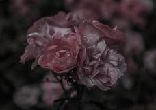Czarny I Biały róże Zdjęcia Royalty Free