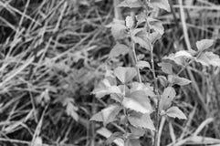 Czarny i biały roślina Zdjęcie Royalty Free