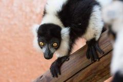 Czarny I Biały Ruffed lemur gapi się intensywnie Zdjęcia Stock