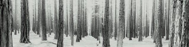 czarny i biały rzędy drzewa przy Redwood Lasowy Warburton w Yarra dolinie Melbourne, Australia obraz stock