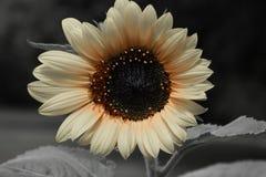 Czarny i biały słonecznik Fotografia Royalty Free