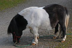 Czarny i biały Shetland konik fotografia royalty free
