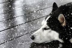 Czarny i biały siberian husky śpi pod działającym śniegiem na drewnianym tarasie fotografia stock