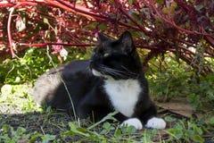 Czarny I Biały smokingu kot w amarancie Zdjęcie Royalty Free