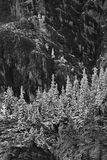 Czarny I Biały strzępiasta góra i śnieg frosted drzewa Fotografia Stock