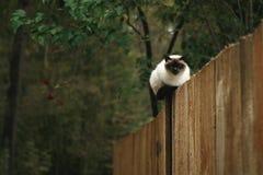 Czarny i biały Syjamskiego kota obsiadanie na drewnianym ogrodzeniu w jesień lesie zdjęcia royalty free