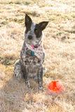 Czarny i biały Teksas Heeler psa obsiadanie w mroźnej ranek trawie w zimy słońcu obok jej piłki obraz stock