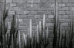 Czarny i biały wizerunek różnorodny kaktus, agawa z ostrym kolcem Obrazy Stock