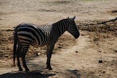 Czarny i biały - zebra, słońce i cień, obrazy royalty free