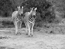 Czarny I Biały zebry obraz royalty free