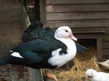 Czarny i biały barwiona kaczka Obrazy Stock