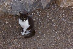 Czarny i biały barwiony kot Fotografia Royalty Free