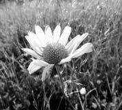 Czarny i biały chamomile Zdjęcia Stock