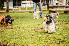 Czarny I Biały Cocker Spaniel bieg Zdjęcia Royalty Free