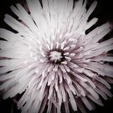 Czarny i biały dandelion Fotografia Stock