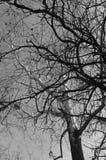 Czarny i biały drzewa Obrazy Royalty Free
