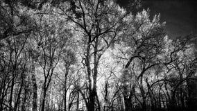 Czarny i biały drzewa Fotografia Stock