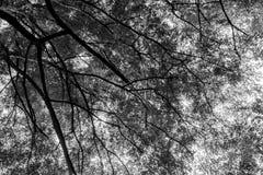 Czarny i biały drzewo Fotografia Stock