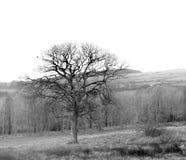 Czarny i biały drzewo Zdjęcia Royalty Free