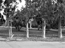Czarny i biały drzewo Zdjęcie Royalty Free