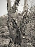 Czarny i biały drzewo Zdjęcie Stock