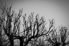 Czarny i biały drzewo sylwetki Fotografia Royalty Free