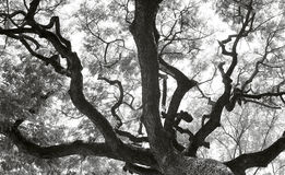 Czarny i biały drzewo sylwetki Obraz Royalty Free