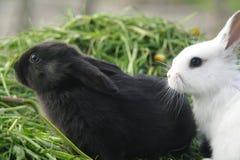 Czarny i biały dziecko króliki na zielonej trawie Zdjęcia Royalty Free