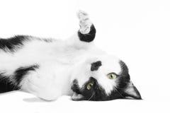 Czarny i biały kot w studiu Fotografia Royalty Free