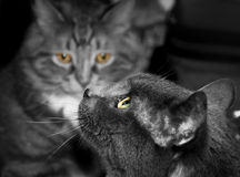 Czarny i biały fotografia dwa kota Zdjęcia Royalty Free